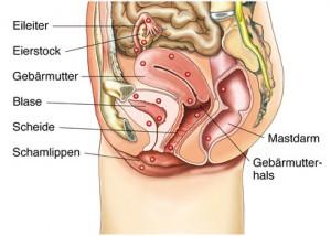 Übersicht über die weiblichen Geschlechtsorgane